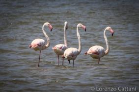 Fenicotteri Rosa nei pressi del Lago di Santa Giusta