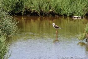 Martin Pescatore nei pressi del Lago di Santa Giusta
