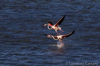 Fenicotteri rosa nella Laguna di Marceddì