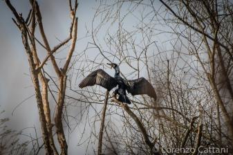 La Parma morta: cormorano che si asciuga le ali